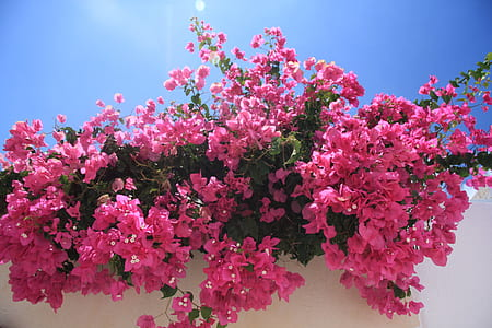 pink Bougainvillea flowers in bloom at daytime