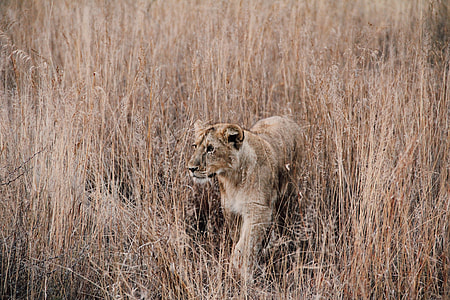 lioness ready to hunt food