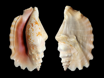 two brown-and-white shells