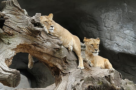 two brown lioness on wood