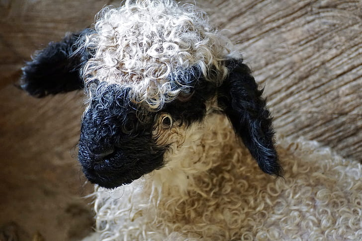 white and black sheep in close up photography