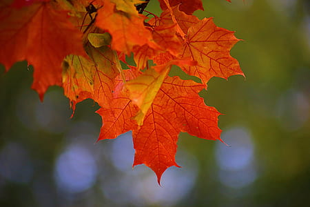 focus photography of red maple leaf