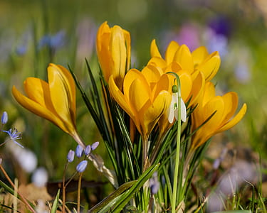 yellow crocus flowers in bloom at daytime
