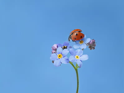 red and black ladybug perched on blue petaled flowers