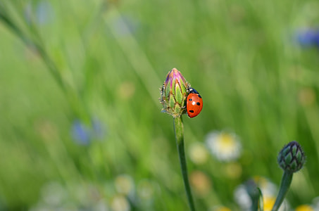 selective focus photography of ladybird on pink petaled flower