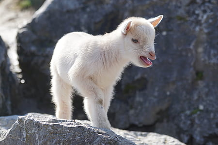 white goat kid