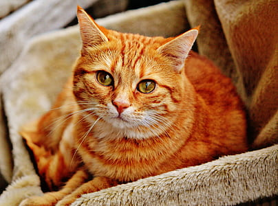 photo of orange tabby cat on gray fur sofa
