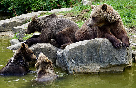 four brown grizzly bears on brown stone