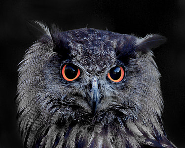 photo of black owl