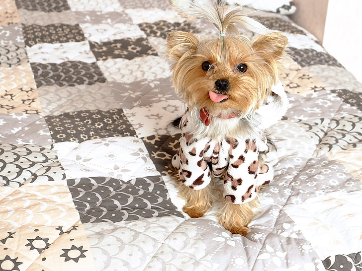 brown Yorkshire terrier on bed