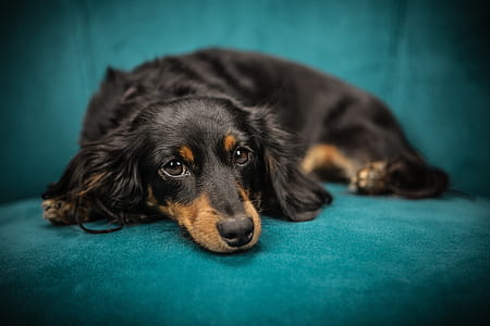 adult black and tan dachshund