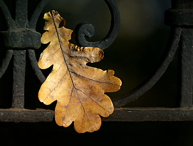 withered oak leaf
