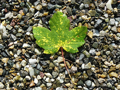 green maple leave