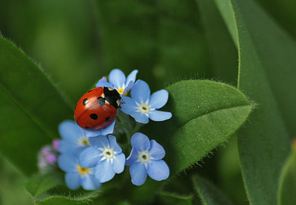 red ladybug on blue petaled flowers