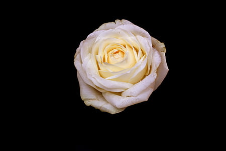 closeup photo of white rose flower
