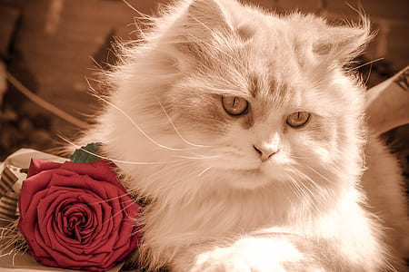 photo of long-coated white cat and red rose