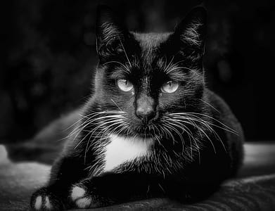 photo of black and white cat