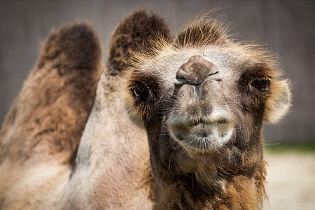 photography of brown camel