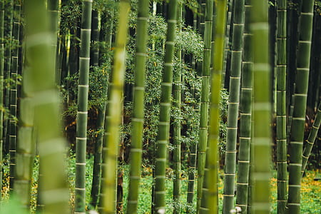 green bamboo forest photography