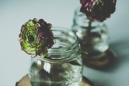 pink-and-green peonies in clear glass jar closeup photo