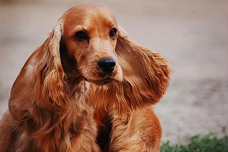 tilt shift lens photography of long-coated brown dog