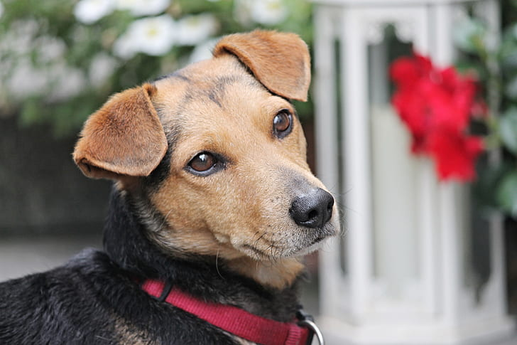 closeup photo of tan and black Jack Russell terrier