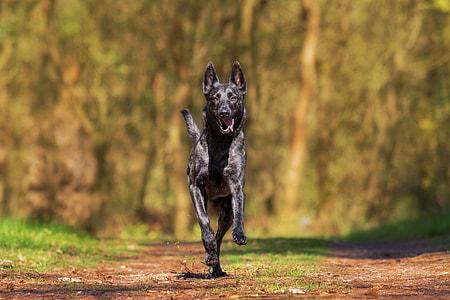 short-coated black running