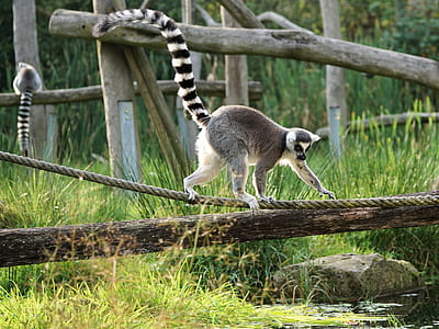 shallow focus photography of ring-tailed lemur during daytime