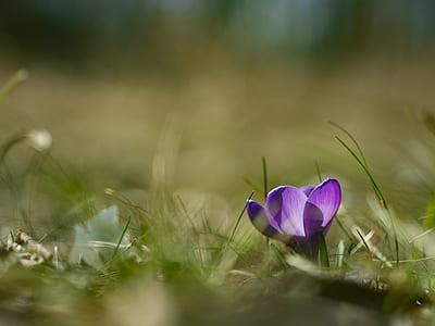 macro shot photography of purple saffron