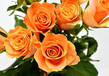 closeup of orange rose