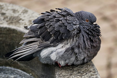 black pigeon on gray concrete surface