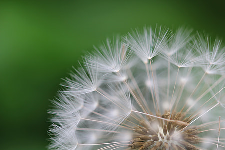 shallow focus of dandelion