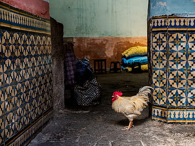white rooster near blue-and-white floral wall tiles
