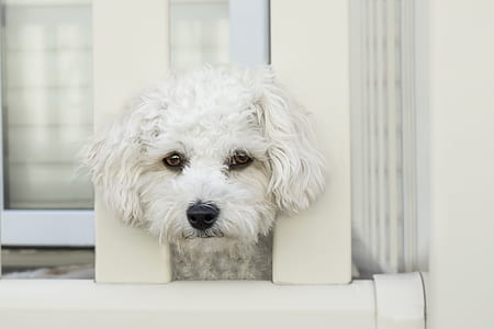 Maltese puppy on fence
