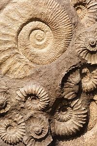 embossed nautilus shell brown decor