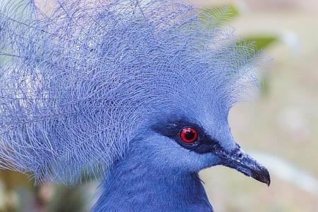 close-up photography of crown pigeon