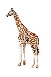 adult giraffe