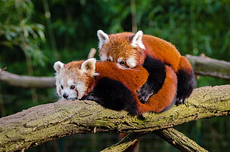 male and female red pandas on branch at daytime