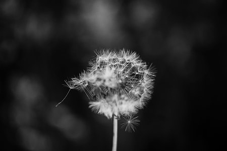 selective focus grayscale photography of dandelion