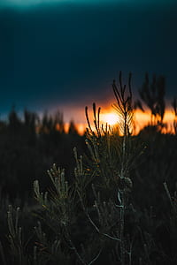 tree, pine, blue, sky, burn, sun