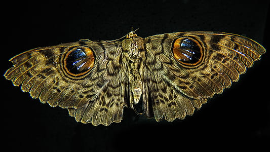 brown owl butterfly