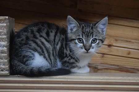 gray tabby cat on brown wooden surface