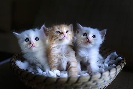 three gray and white kitten on basket photo