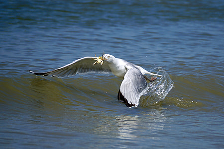 seagull catching crab on body of water
