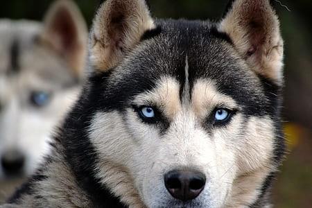 black and brown Siberian Husky