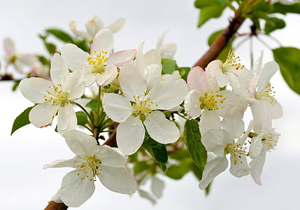 white cherry blossom flowers