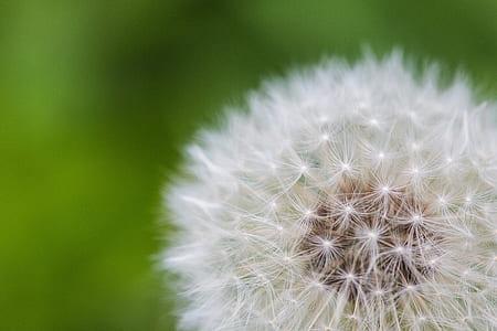closeup photography of white dandelion flower