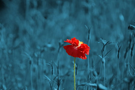 selective color photography of red flower