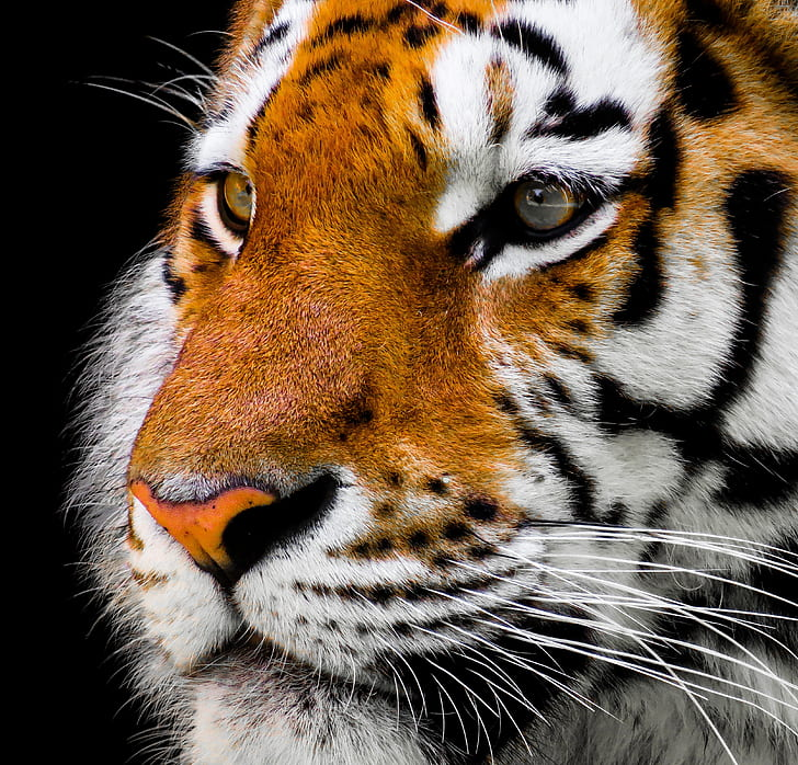 shallow photo of a tiger