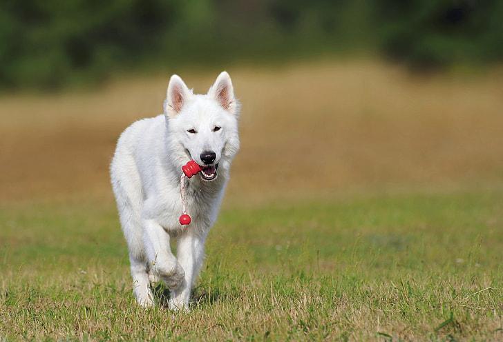adult white German shepherd on green grass field during daytime